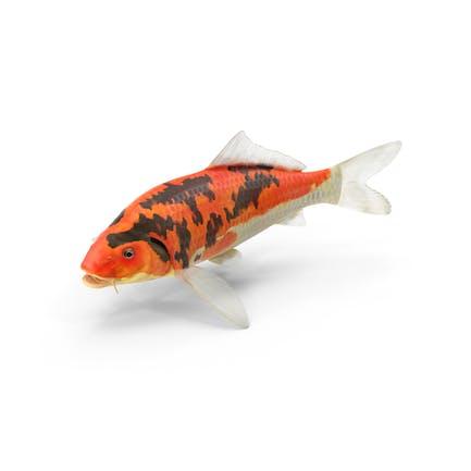 Koi-Fisch
