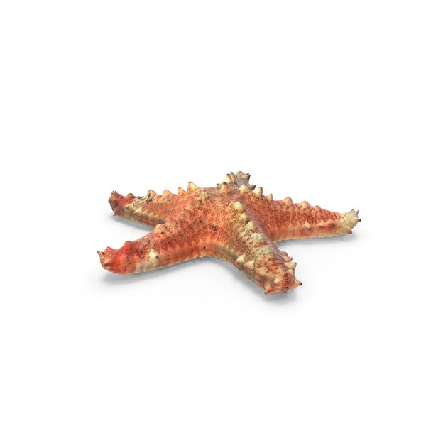 Thumbnail for Pentaceraster Alveolatus Starfish