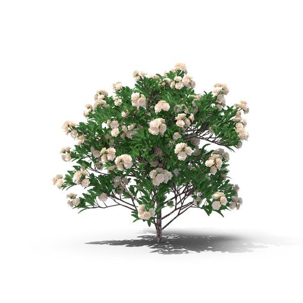 Thumbnail for Gardenia