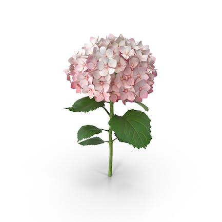 Rosa Hortensien