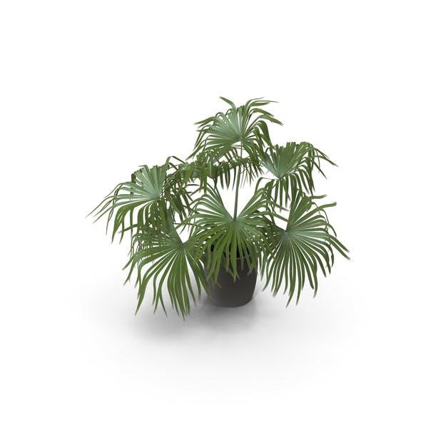 Chinese Fan Palm In Pot