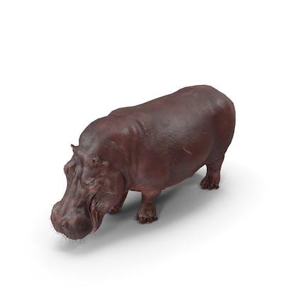 Hippopotamus-Pose