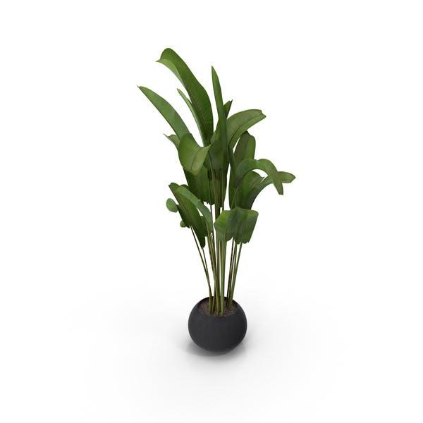Thumbnail for Banana Plant