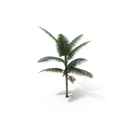 Palm Tee Acanthophoenix Crinita