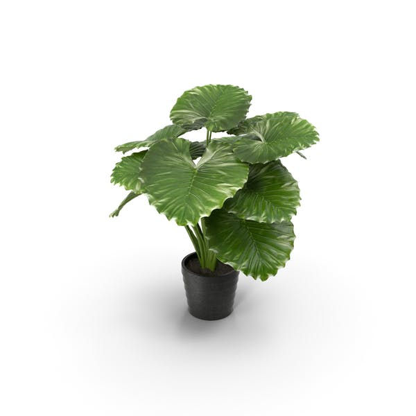 Cover Image for Taro Plant