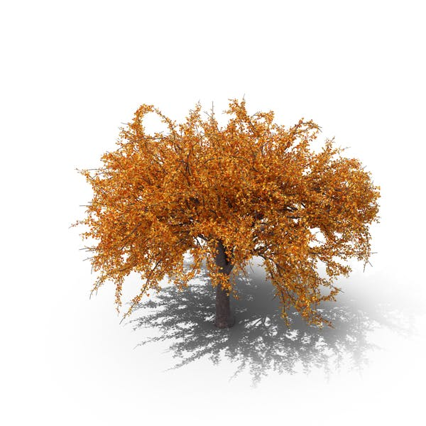 Cover Image for Autumnal Cherry Tree