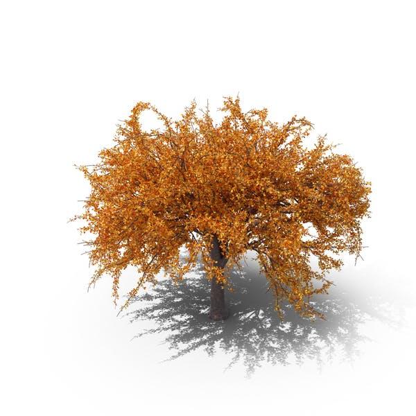 Autumnal Cherry Tree