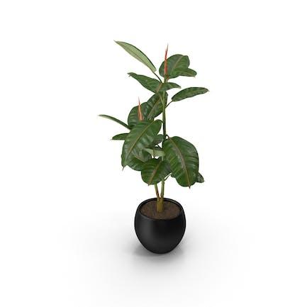 Gummi-Baumpflanze im Topf