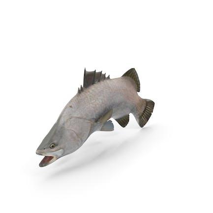 Barramundi-Fisch-Schwimmen-Pose