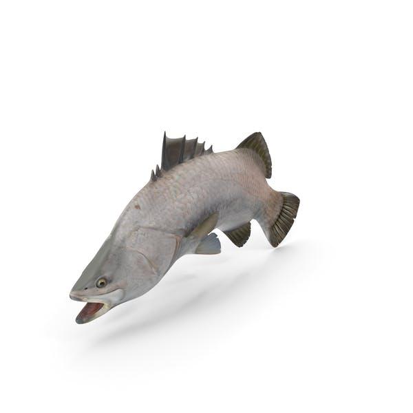 Barramundi Fish Swimming Pose