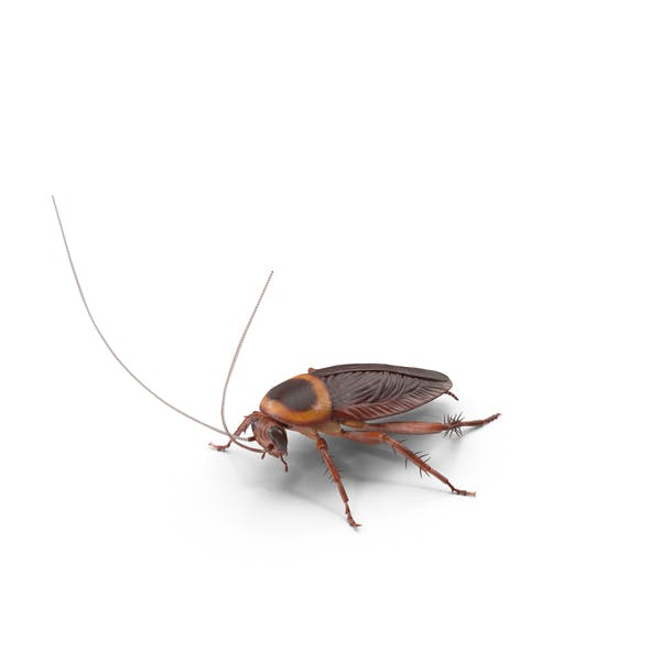 Cover Image for American Cockroach