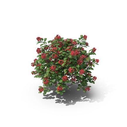 Tropische Rose Hortensie