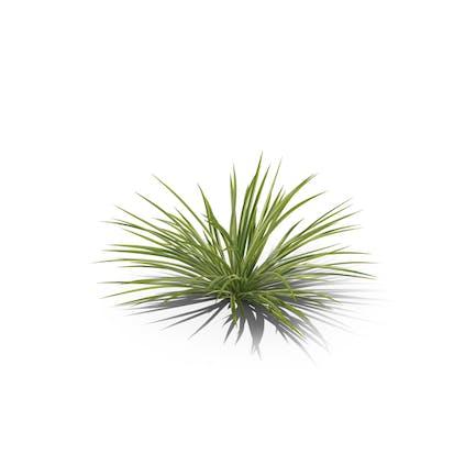 Spinnenpflanze