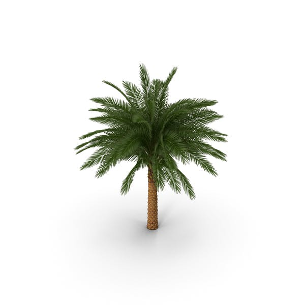 Thumbnail for Silver Date Palm