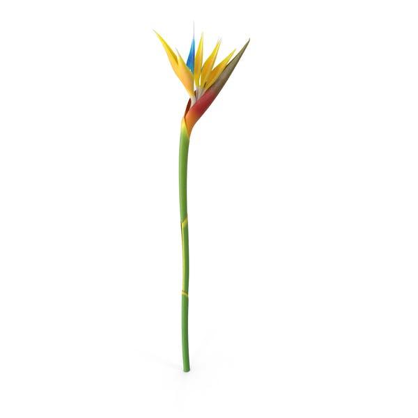 Thumbnail for Bird-of-Paradise Flower