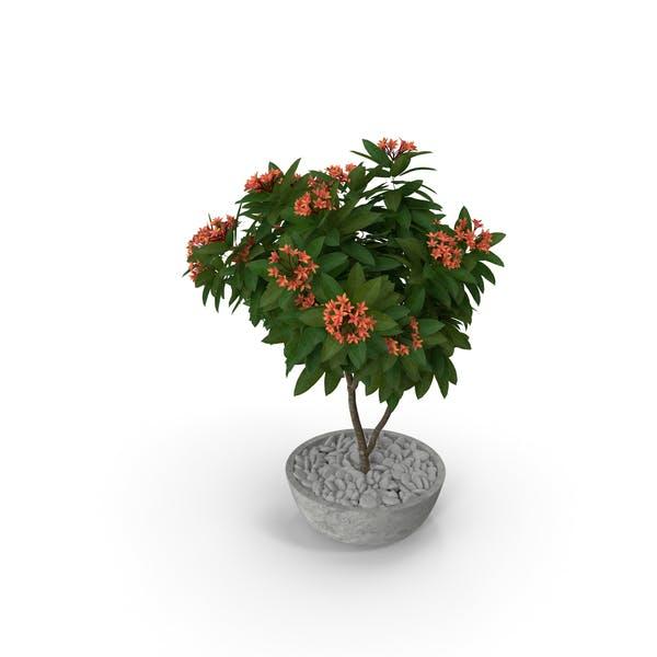 Flower Pot Plumeria Red