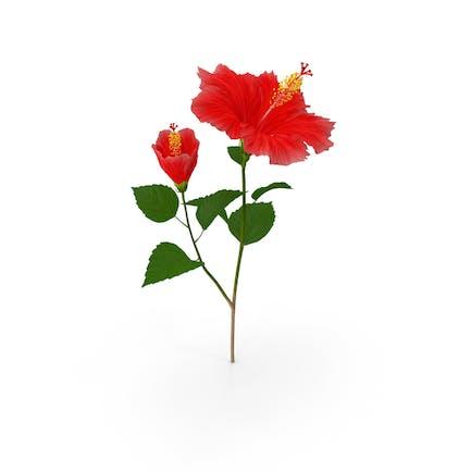 Hibiskuszweig mit Blume Rot