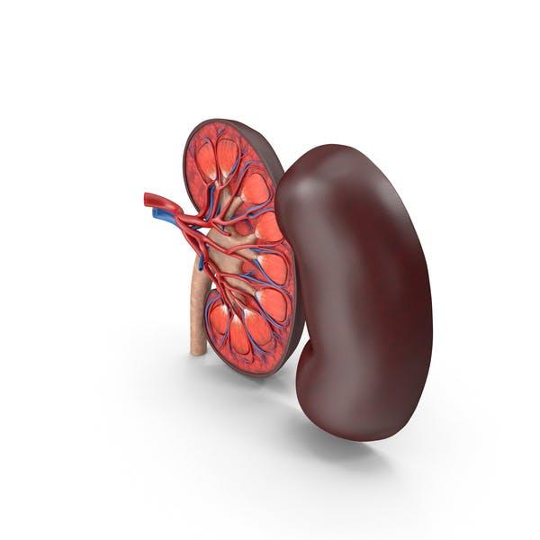 Kidney Cross-Section