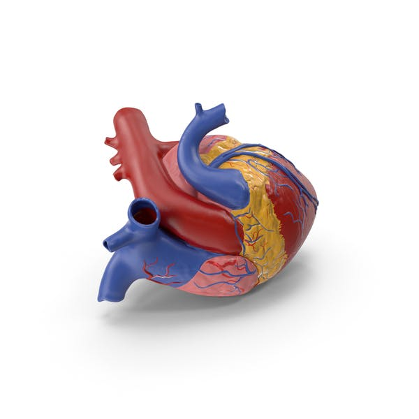 Thumbnail for Anatomy Heart Medical Plastic Model