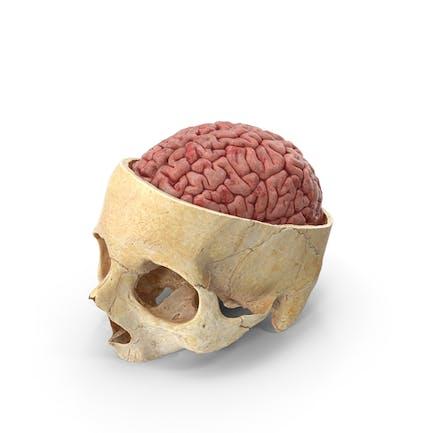 Cráneo Humano Corte craneal Con Cerebro Interior