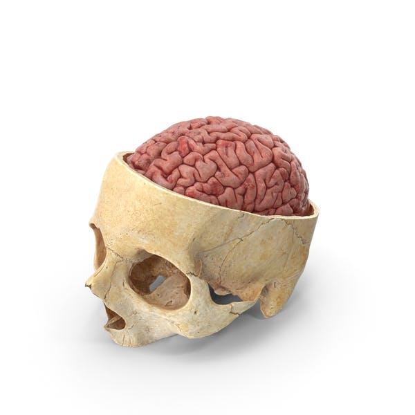 Cover Image for Menschlicher Schädel Schädelschnitt mit Gehirn im Inneren