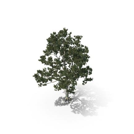 Pinus Bungeana Pinus