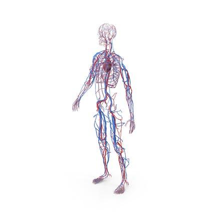 Anatomía del sistema cardiovascular femenino