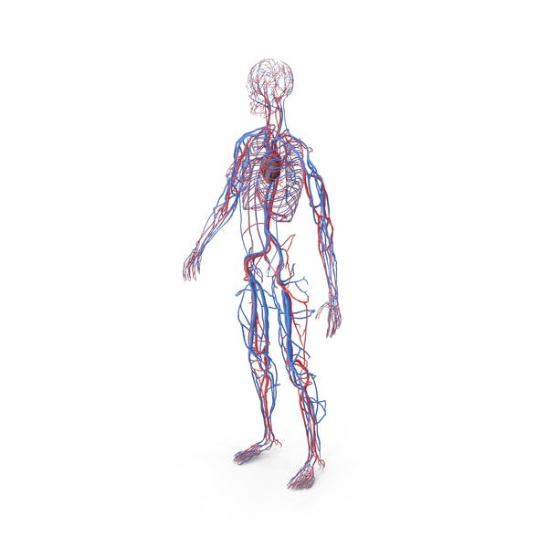 Анатомия женской сердечно-сосудистой системы