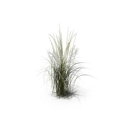 Tall Moor Grass