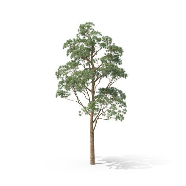 Cider Gum Tree