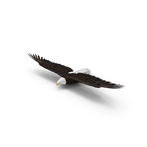 Thumbnail for Bald Eagle Gliding