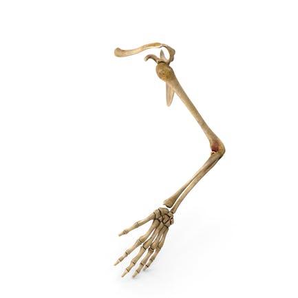 Esqueleto de mano