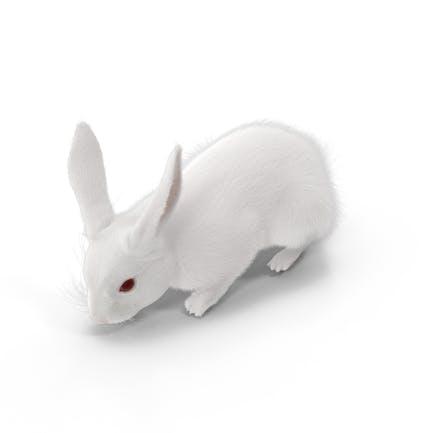 White Rabbit Eating