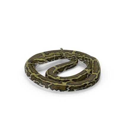 Grüne Pythonschlange Curled Pose