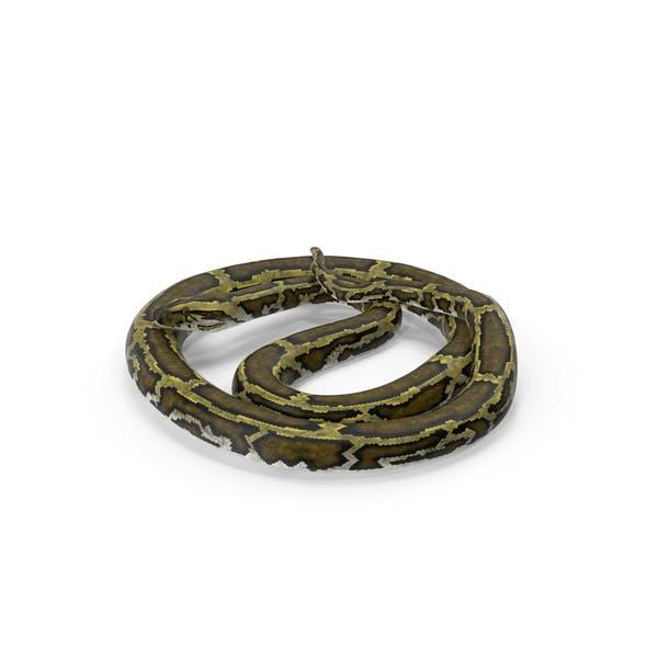 Green Python Snake Curled Pose