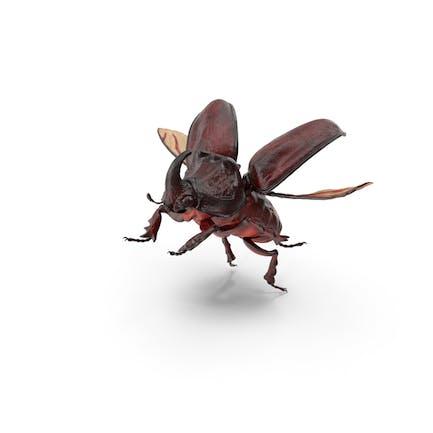 Nashorn Beetle Oryctes Nasicornis Fliegen