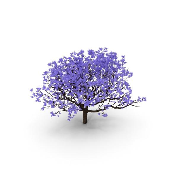 Blooming Jacaranda Tree without Leaves