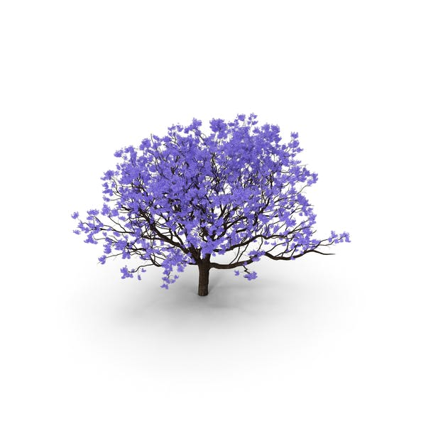 Thumbnail for Blooming Jacaranda Tree without Leaves