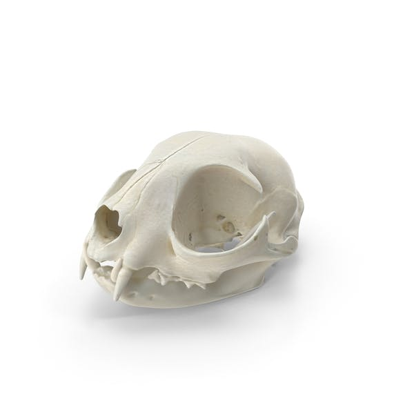 Domestic Cat Skull and Jaw
