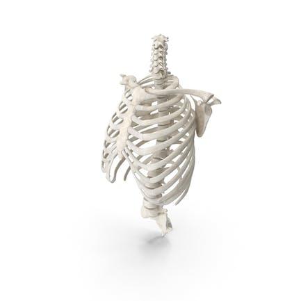 Human Rib Cage Spine Clavicle and Scapula Bones Anatomy