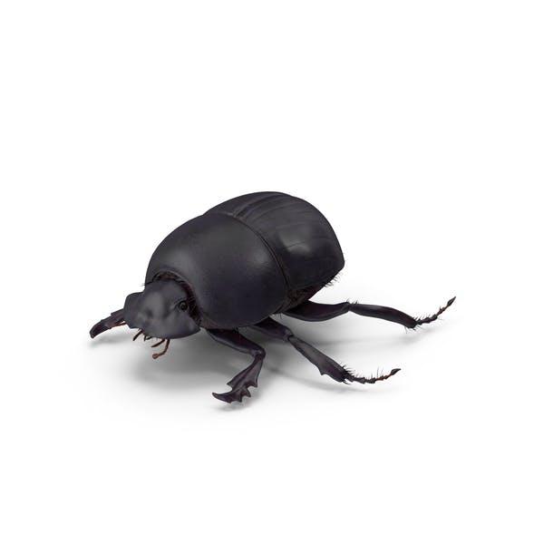 Black Scarab Beetle