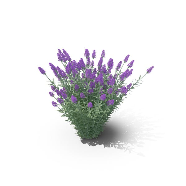 Cover Image for Lavandula