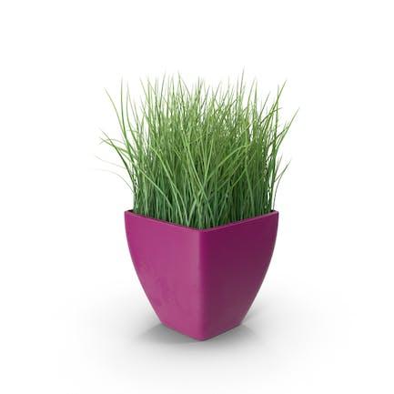 Grass in Purple Planter