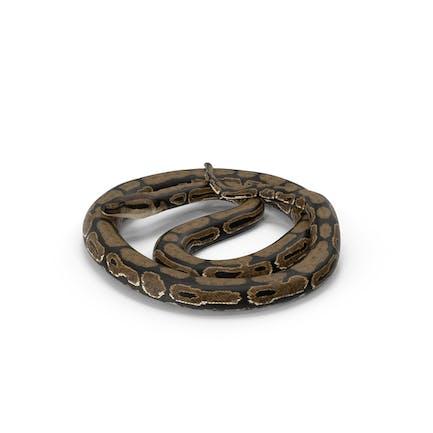 Braune Pythonschlange Curled Pose