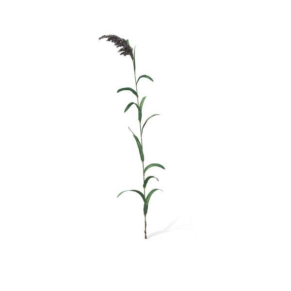 Thumbnail for Common Reed (Phragmites Australis)