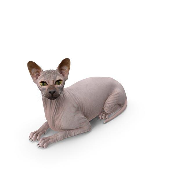 Темный крем Sphynx Cat Лежа Поза