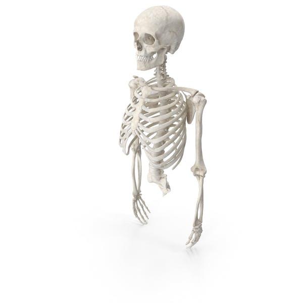 Jaula costillar humana columna vertebral hembra cráneo clavícula escápula y brazos con discos blancos