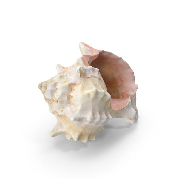 Thumbnail for Conch Sea Shell
