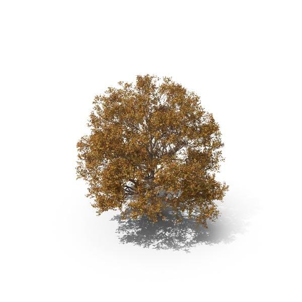 Persian Ironwood Tree