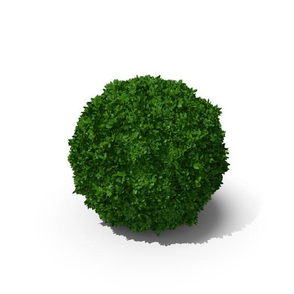 Thumbnail for Boxwood Sphere